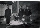Slakting av gris